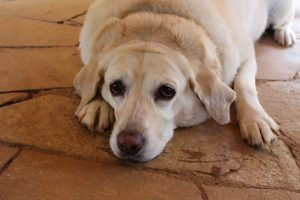 สุนัขอ้วน ไม่ได้เป็นแค่โรคอ้วน ?