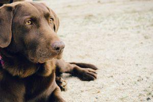 จัดอันดับ 5 สายพันธุ์น้องหมาตัวใหญ่ แต่เฝ้าบ้านไม่ได้