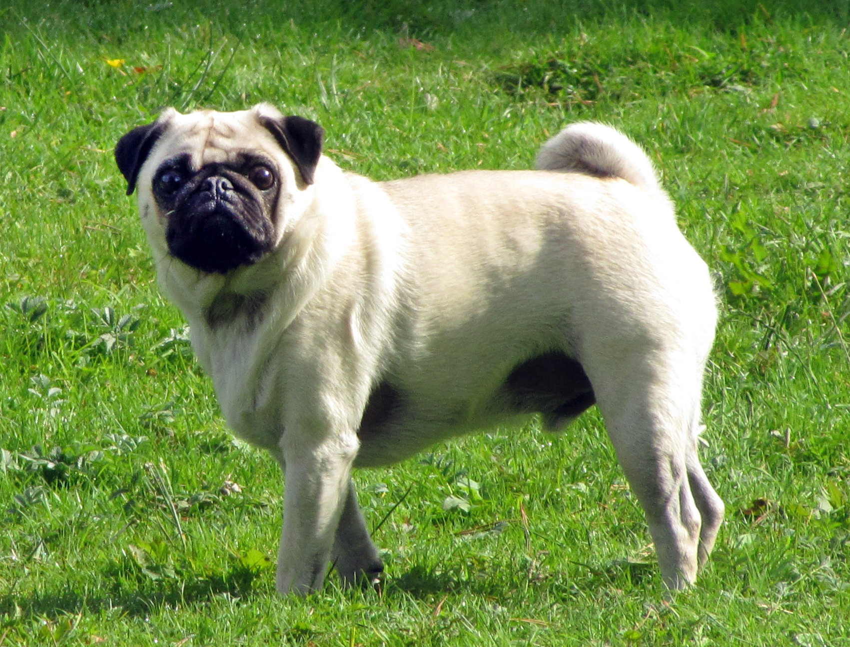 สุนัขพันธุ์ปั๊ก (Pug)