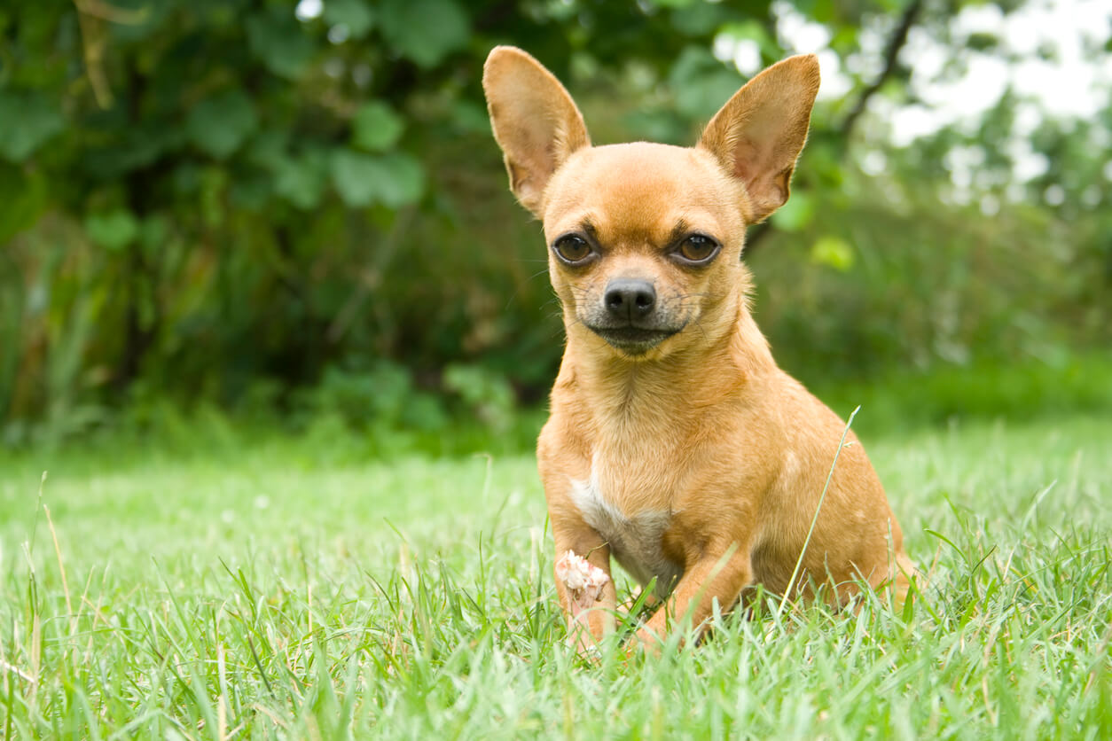 ชิวาว่า (Chihuahua)
