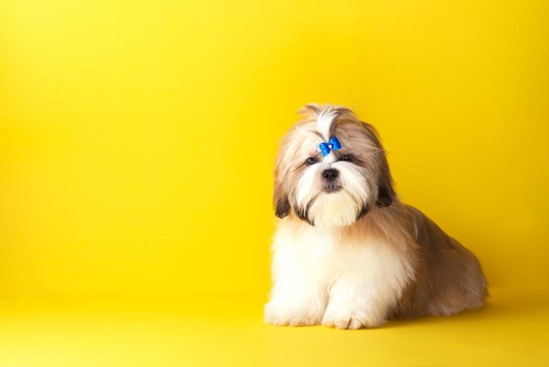 สุนัข ชิสุ เจ้าหมาสิงโตน้อย ประวัติไม่ธรรมดา !!