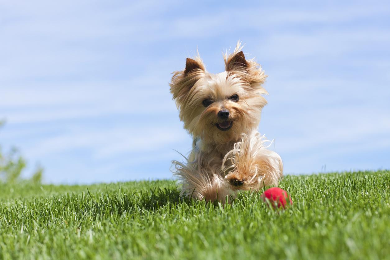 สุนัขพันธุ์ยอร์คเชียร์ เทอร์เรีย (Yorkshire Terrier)