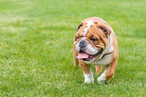 เกิดการพัฒนาสายพันธุ์ให้มีเลือดนักสู้ลดลง จนกลายเป็นสุนัขที่กล้าหาญ วางใจได้ ไม่ดุร้ายเหมือนรูปร่าง