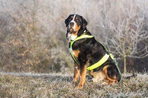 เกรทเทอร์ สวิสส์ เมาน์เทนด๊อกสุนัขเฝ้ายาม เป็นมิตร ไม่ก้าวร้าว