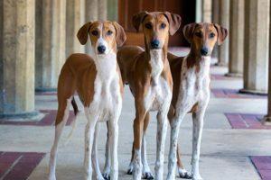 """บรรจุ """"อัซอาวา"""" เป็นสุนัขพันธุ์ใหม่ในอเมริกา"""