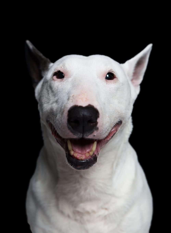 บูลเทอเรีย (Bull Terrier)