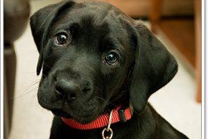 5 สายพันธุ์น้องหมาขนสีดำ น่ารักละลายใจคนทั่วโลก!
