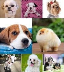 5 สายพันธุ์น้องหมาตัวเล็ก เลี้ยงง่าย ในคอนโด