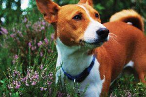 สุนัขสายพันธุ์บาเซนจิ ผู้ซึ่งไม่เคยส่งเสียงเห่า