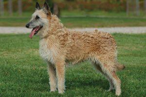 Laekenois สุนัขพันธุ์หายากที่มีไม่ถึงพันตัวทั่วโลก