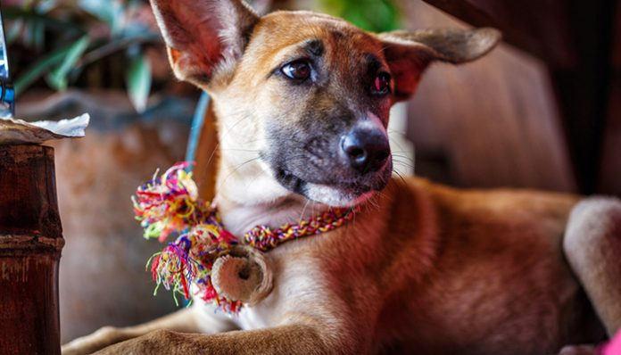 สุนัข 2 สายพันธุ์คู่ชาติไทย ที่คุณต้องรู้จัก