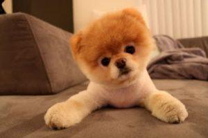ปอมเมอเรเนียน Pomeranian