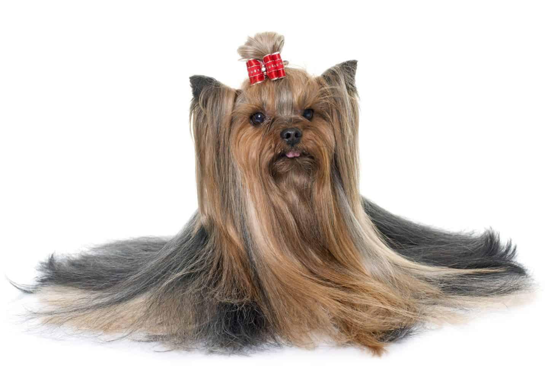 ยอร์กไชร์เทอร์เรีย (Yorkshire Terrier)