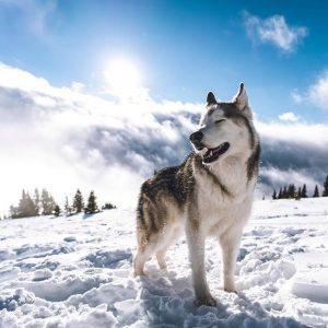 ไซบีเรียน ฮัสกี้ (Siberian Husky)