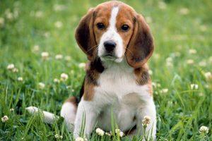 บีเกิ้ล (Beagle)