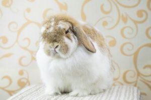 กระต่ายฮอลแลนด์ ลอป
